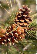 Pine Cones 01 | Home